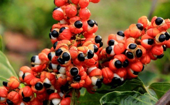guarana paulinia napojová (Kopí6rovať)